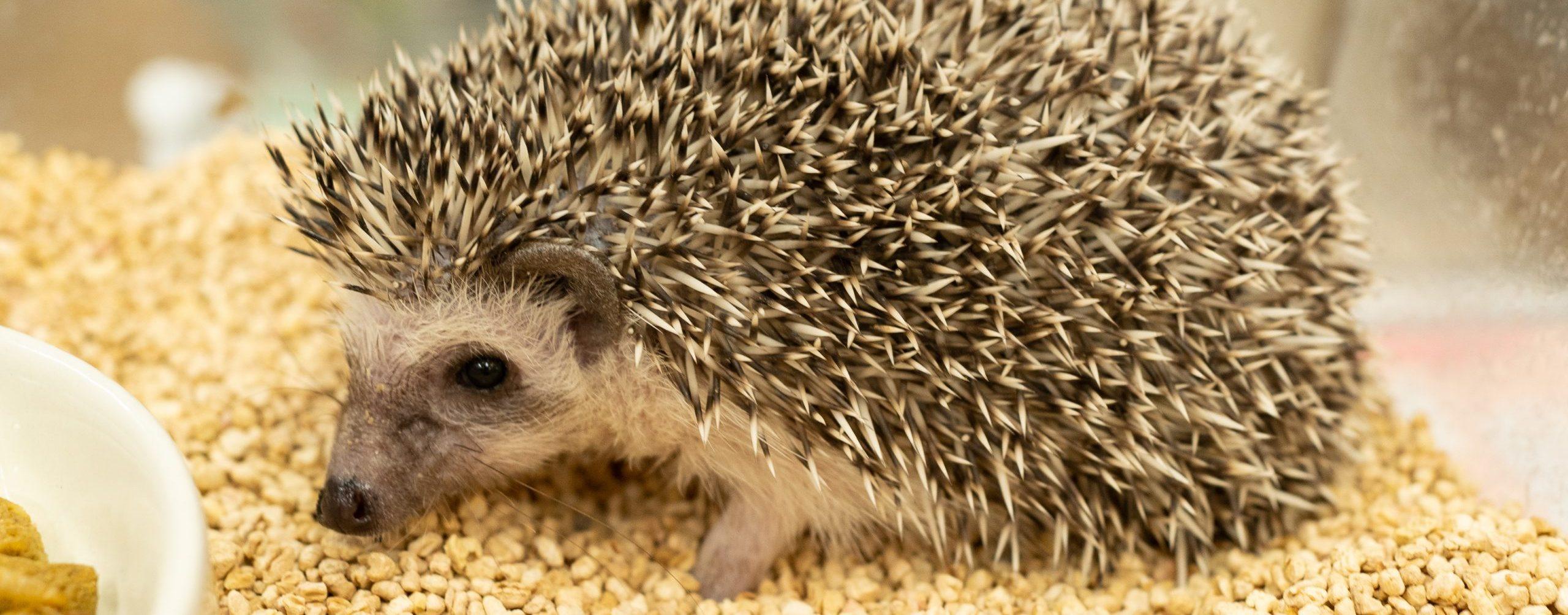 八戸市でハリネズミの診療は、やすだ動物病院