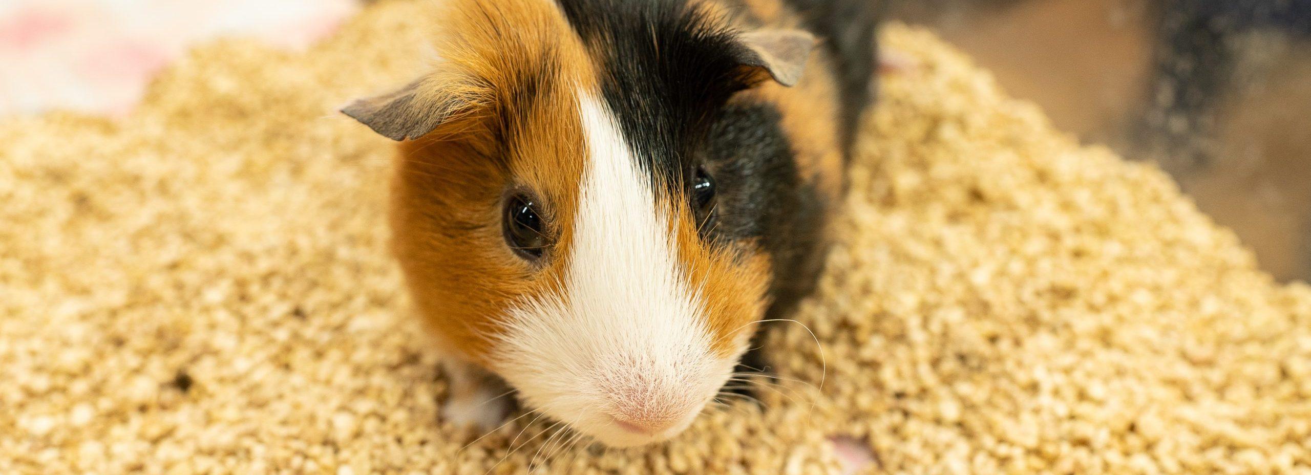 モルモットの診療|青森県八戸市の動物病院