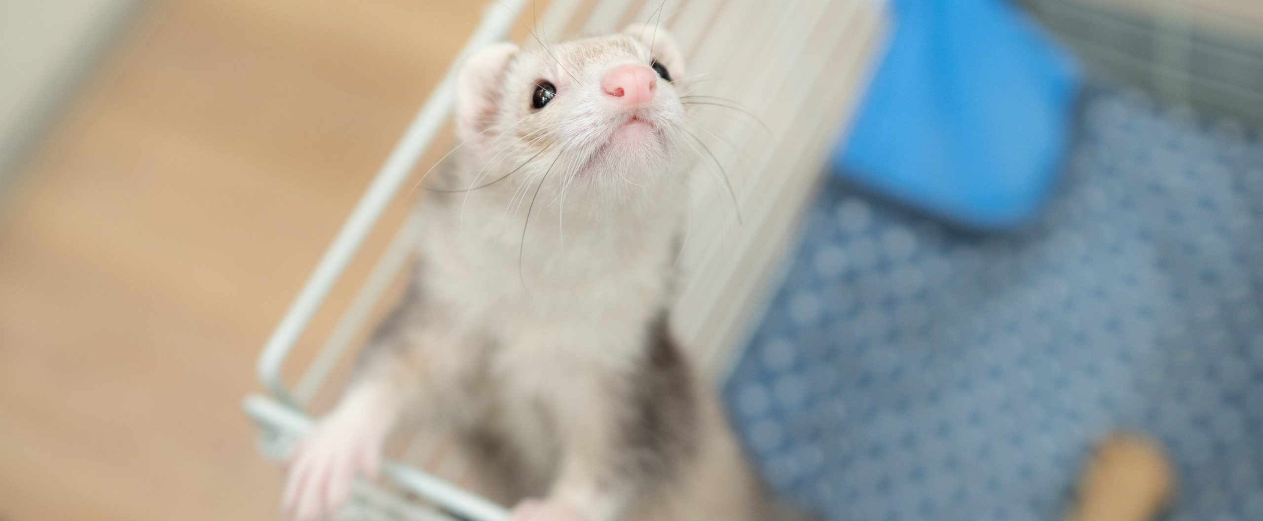 フェレット|青森県八戸市の動物病院
