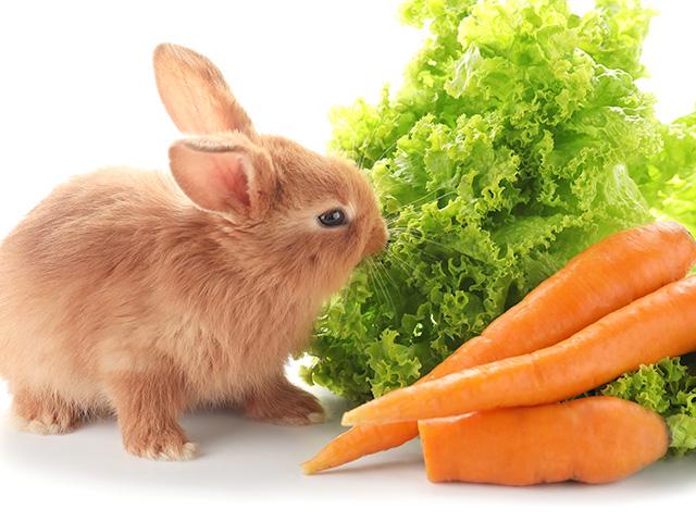 野菜を食べるウサギ|八戸市やすだ動物病院